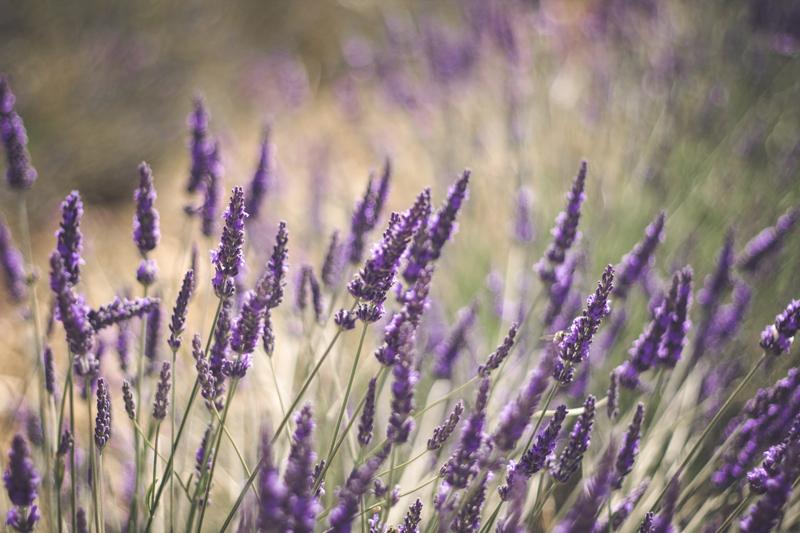 Lavender by Boulevard de la Photo
