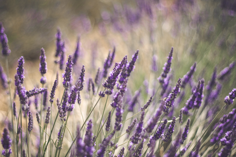 Lavender by Boulevard de la Photo